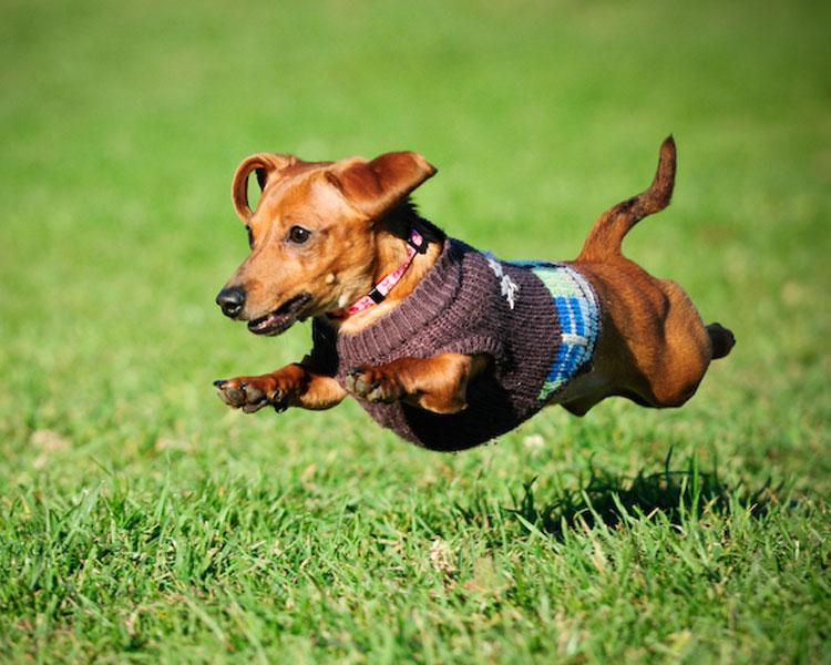 miniature dachshund family pet
