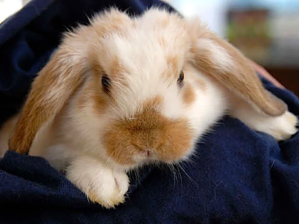 How long do dwarf lop eared rabbits live
