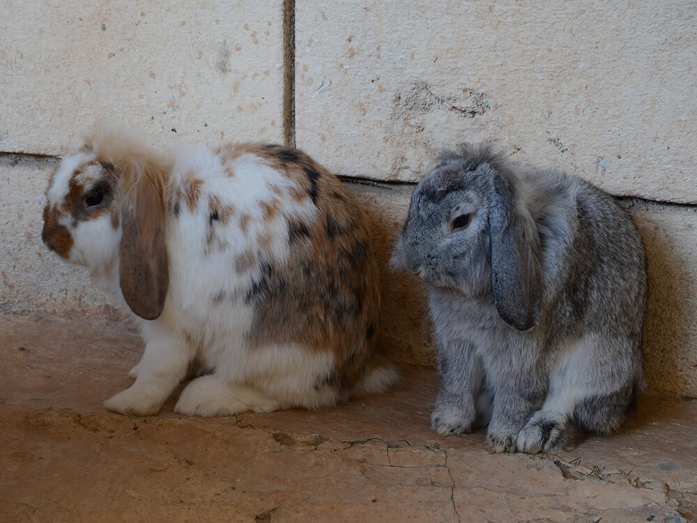How to care for Holland Lops rabbits