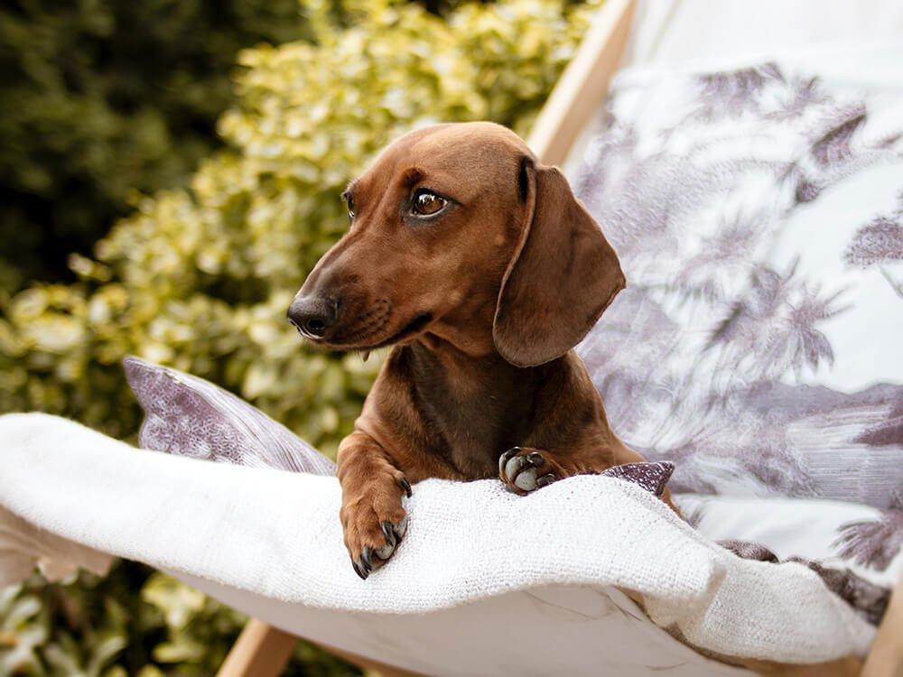 Miniature Dachshund Dog Breed