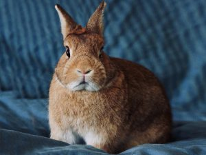 Netherland Dwarf Rabbit Breed Information