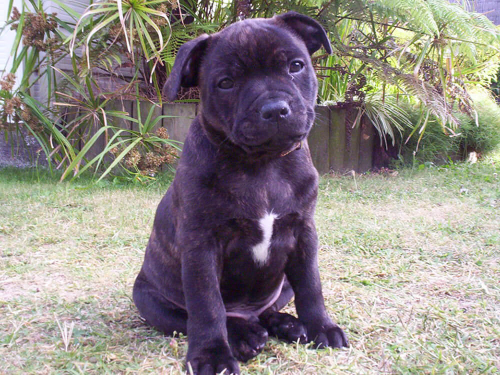 Staffordshire bull terrier pup