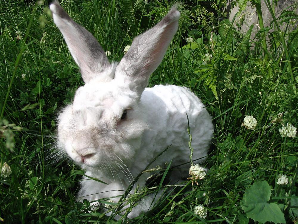 angora rabbit diet