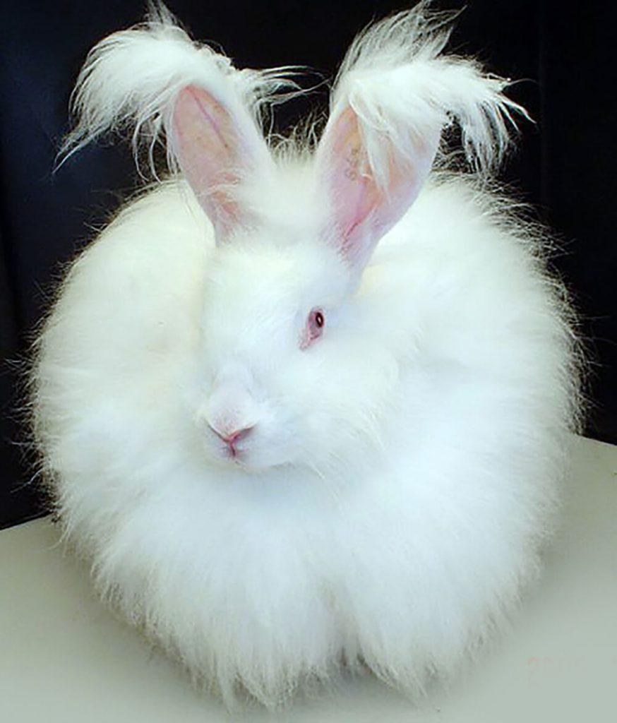 angora rabbit pet care