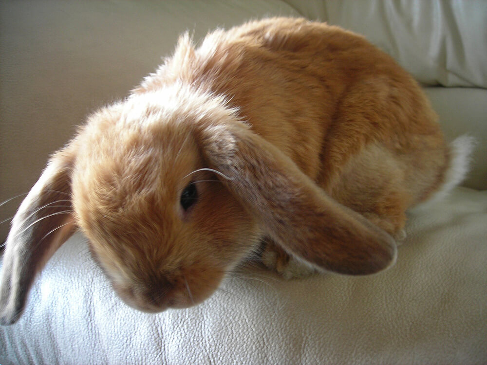 are holland lop rabbits friendly