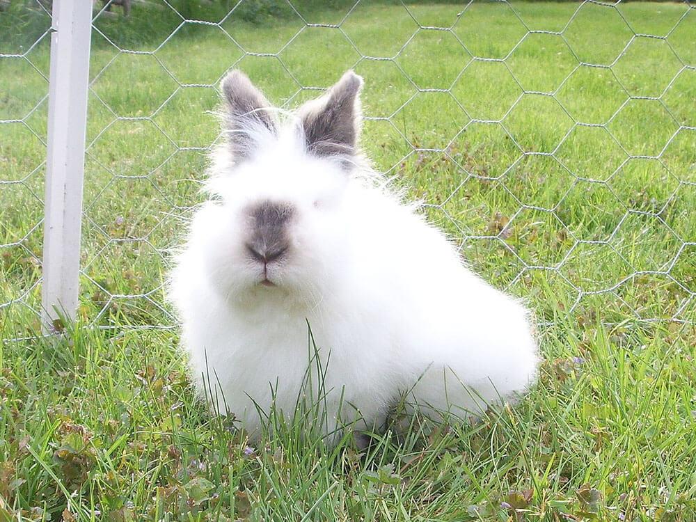 arelionhead rabbits dwarfs