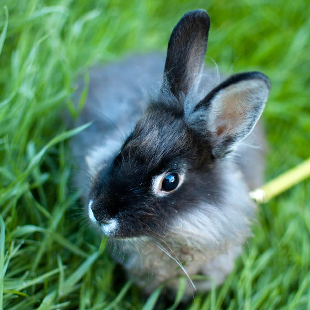 arelionhead rabbits good pets
