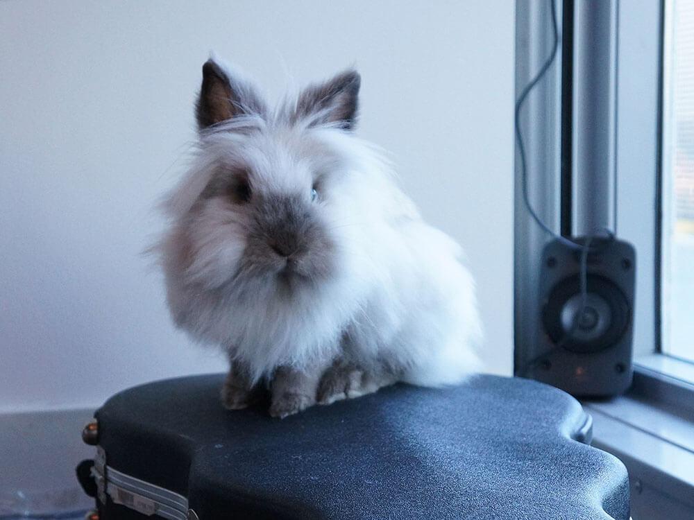 arelionhead rabbits hypoallergenic