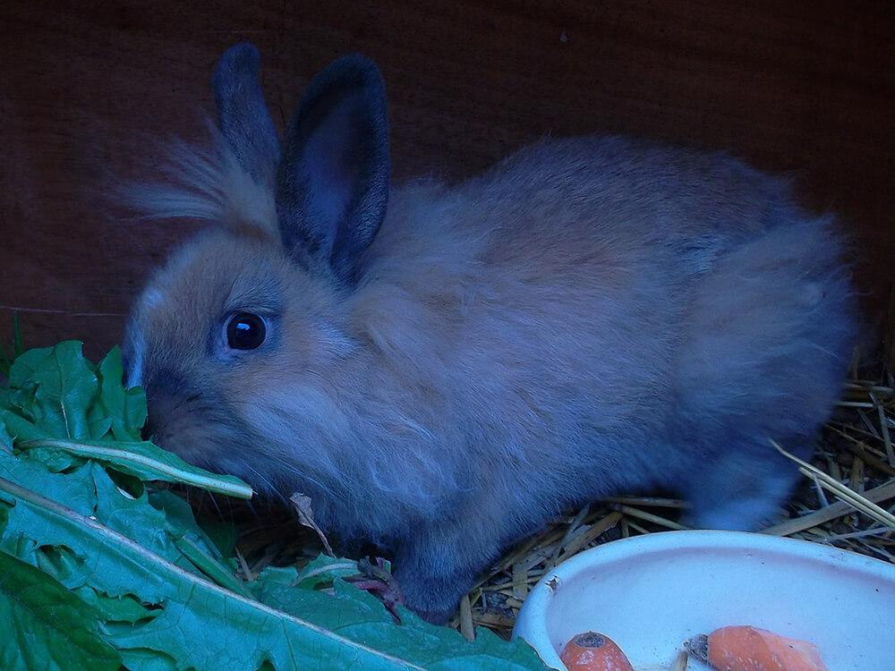 arelionhead rabbits rare