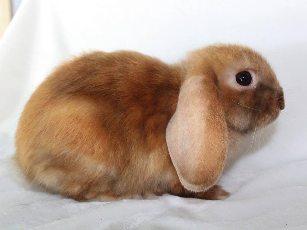 are mini lop rabbits good house pets