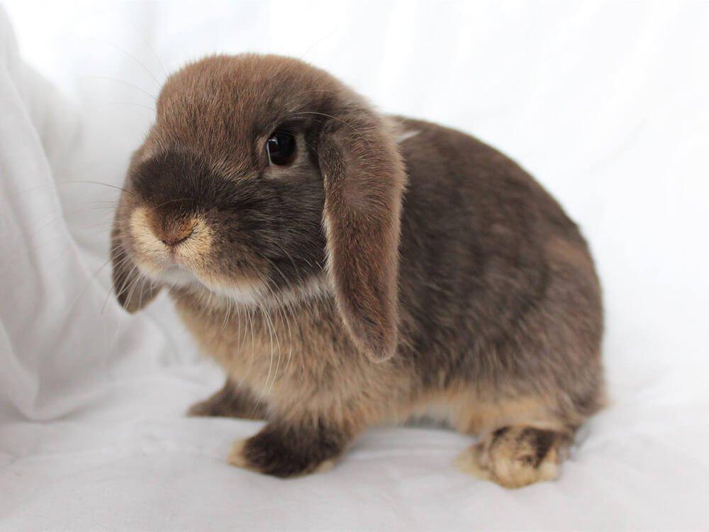 are mini lop rabbits nocturnal
