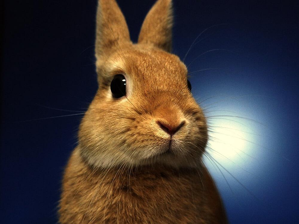 are netherland dwarf rabbits hypoallergenic