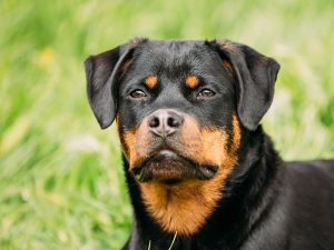 Are Rottweiler Dangerous?