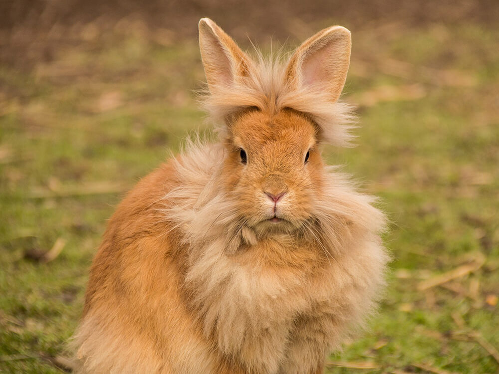 can lionhead rabbit live outside