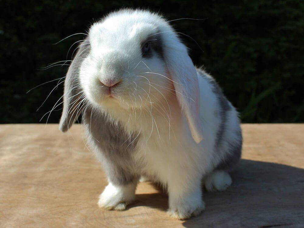 can mini lop rabbits live outside