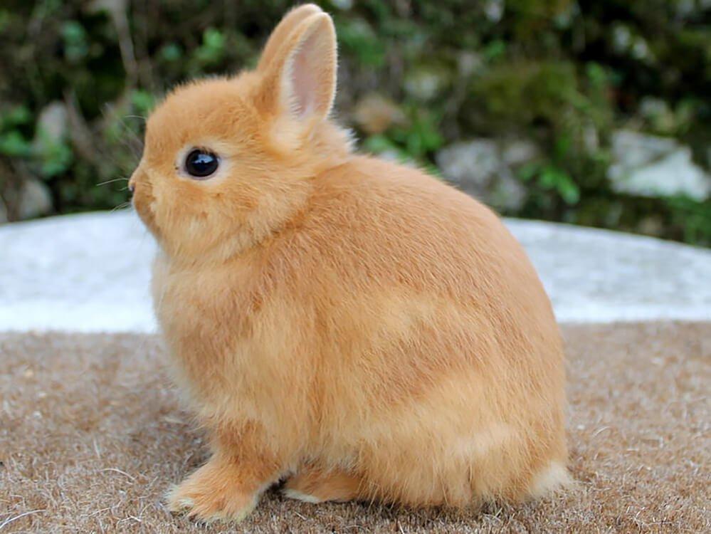 can netherland dwarf rabbits live together