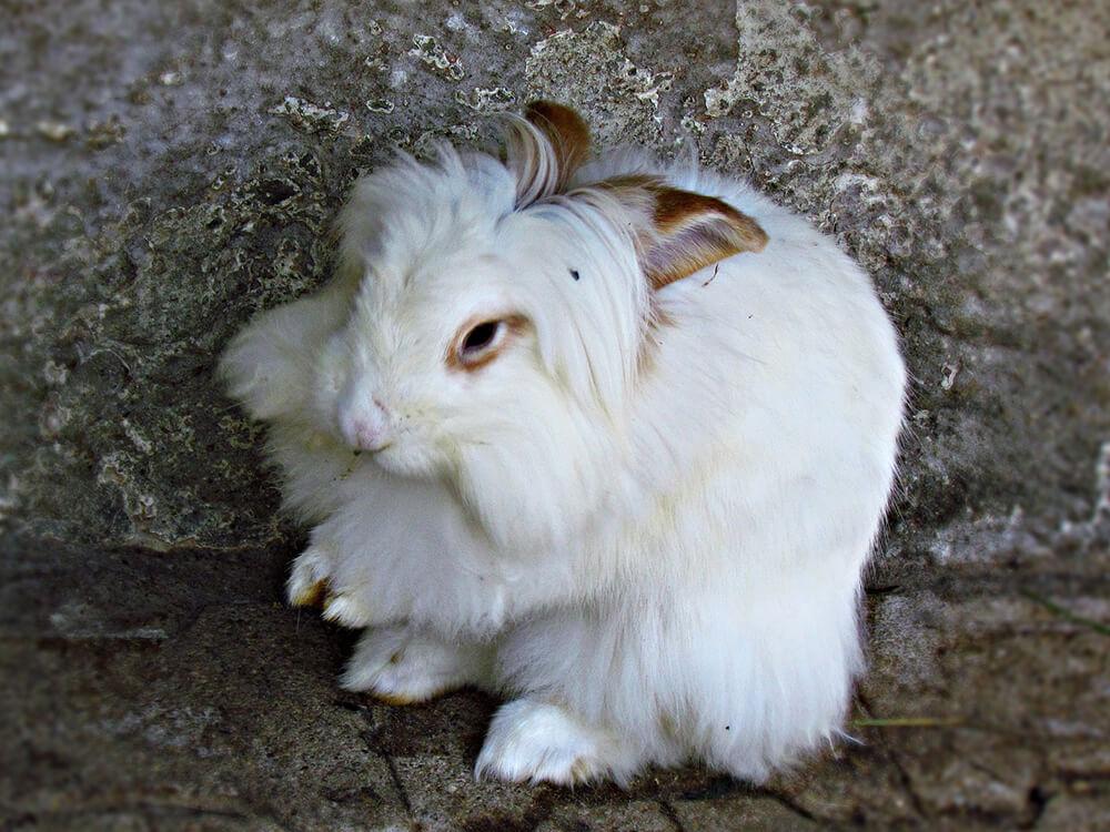 do angora rabbits get fleas