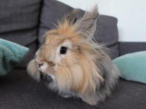 Angora Rabbit Breed Information