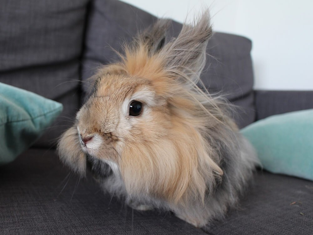 do angora rabbits make good pets