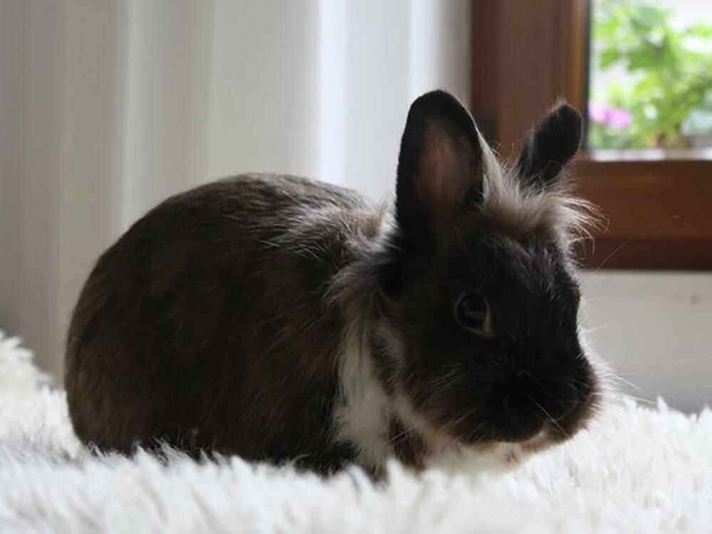 dolionhead rabbits need haircuts