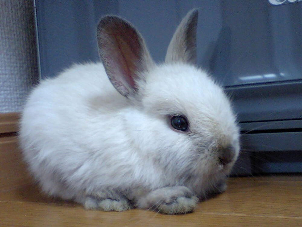 do netherland dwarf rabbits like to be held