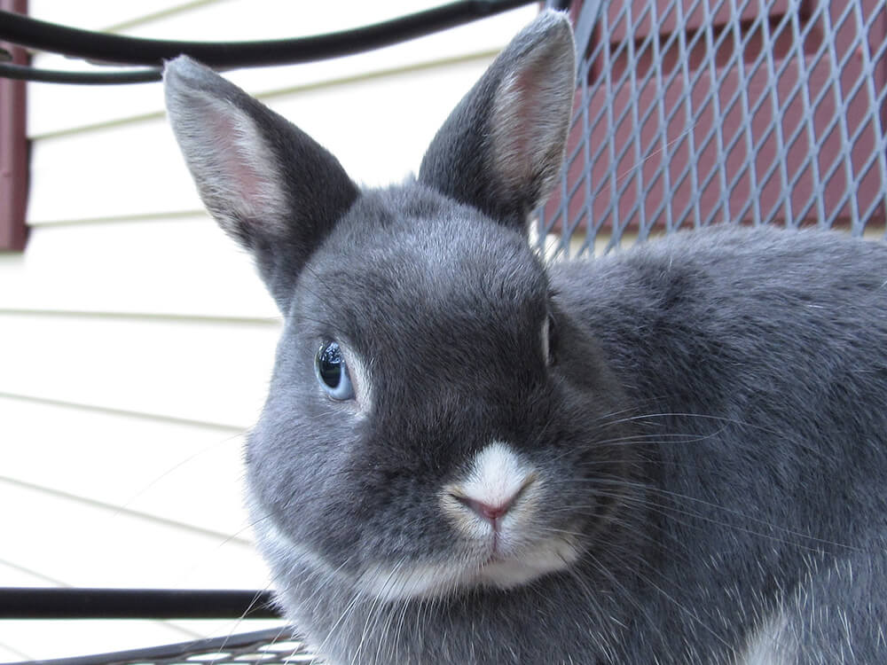 do netherland dwarf rabbits shed