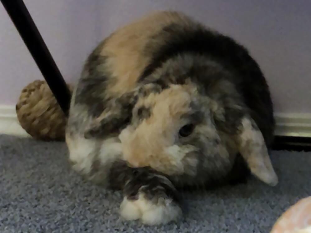 food for mini lop rabbits