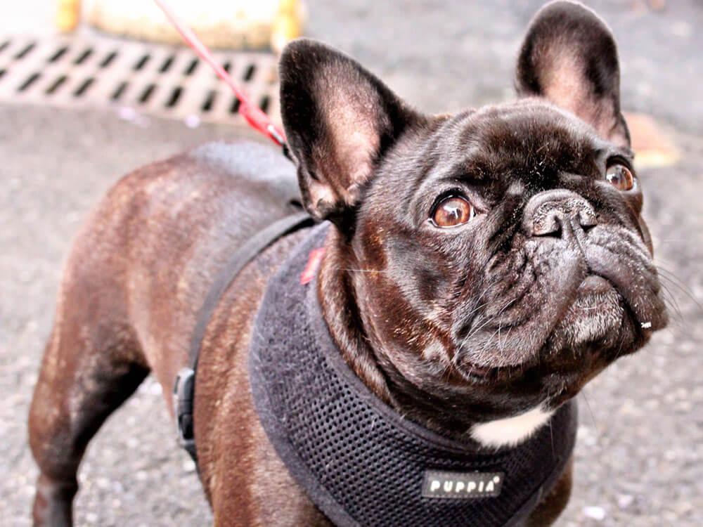 french bulldog facts 1