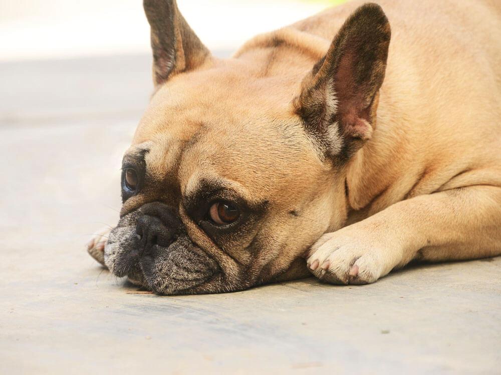 french bulldog facts 3