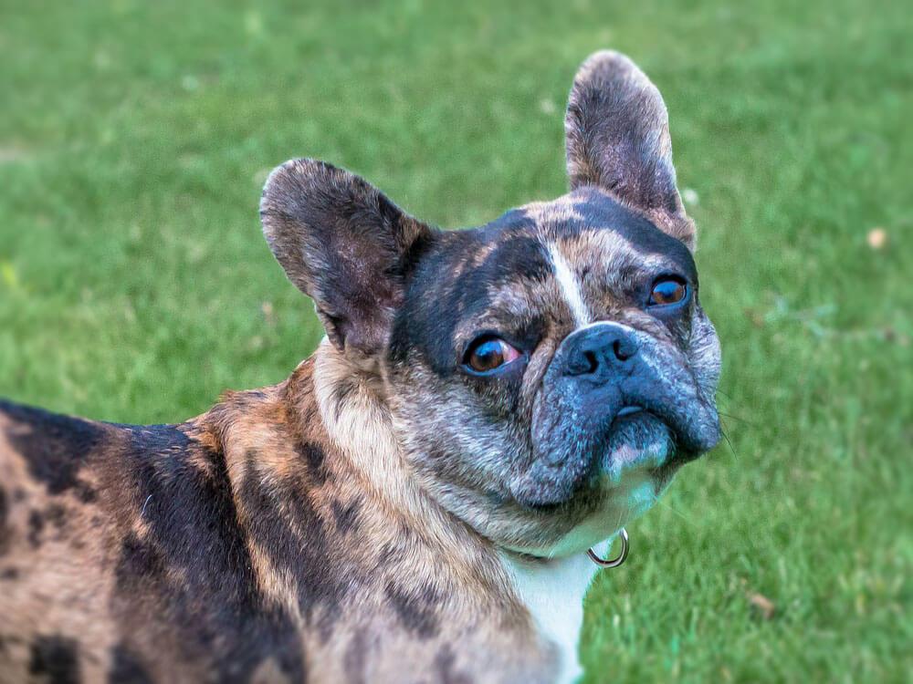 french bulldog facts 4