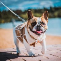 How long do French Bulldogs live