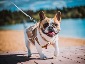 How long do French Bulldog live