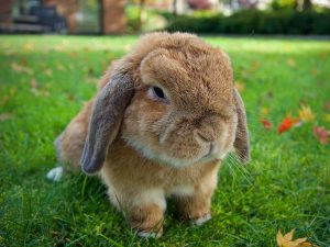 Holland Lop Rabbit Breed Information