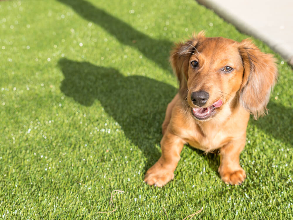 how big does a miniature dachshund get 1