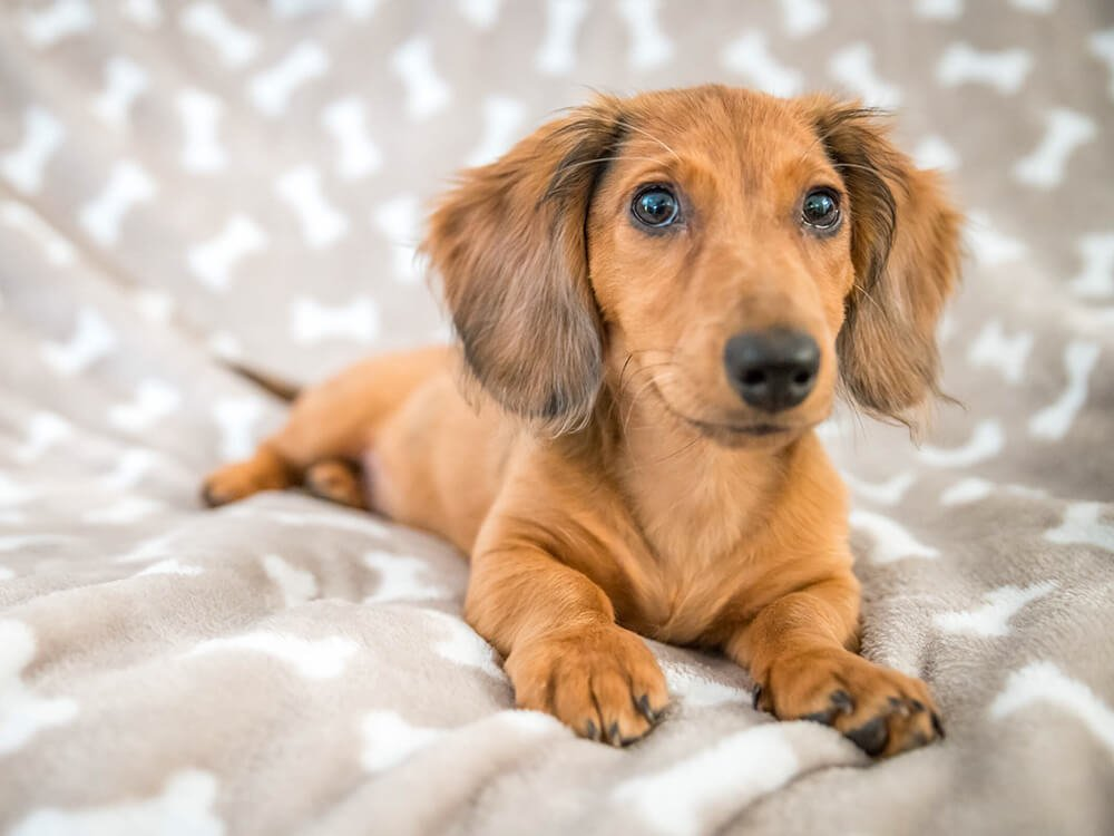 how big does a miniature dachshund get 2