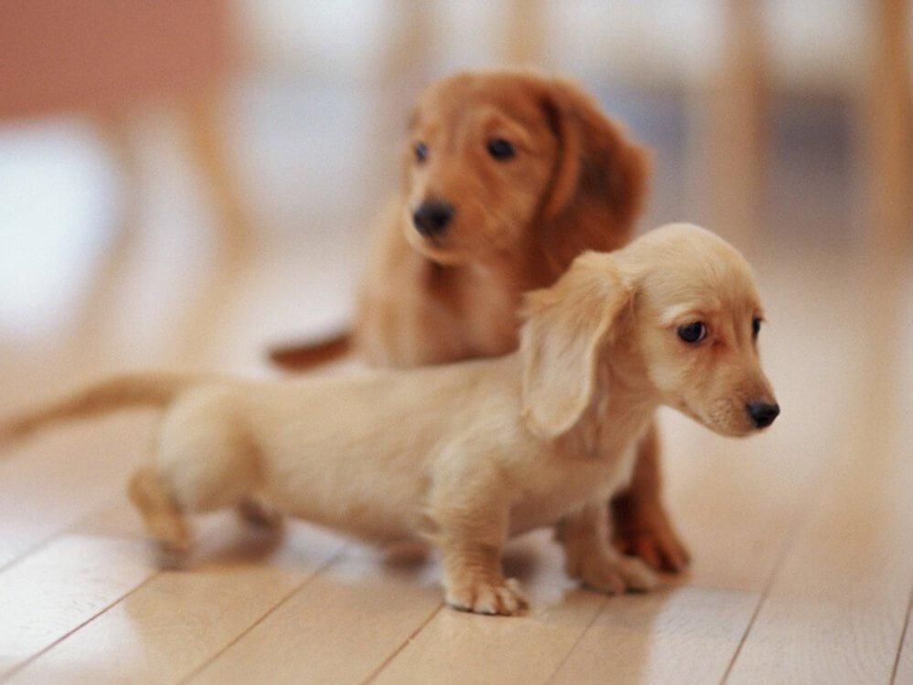how big does a miniature dachshund get 3
