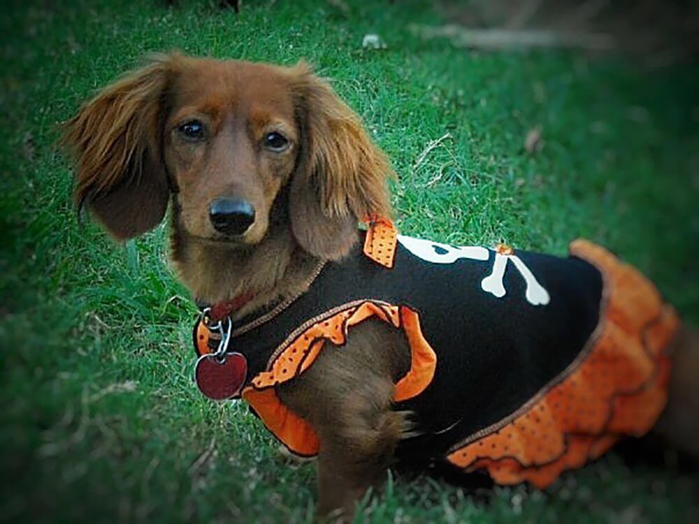 how big does a miniature dachshund get 6