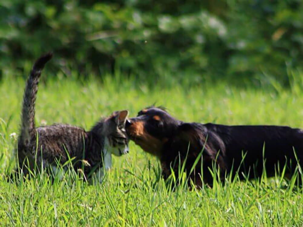 how big does a miniature dachshund get 7
