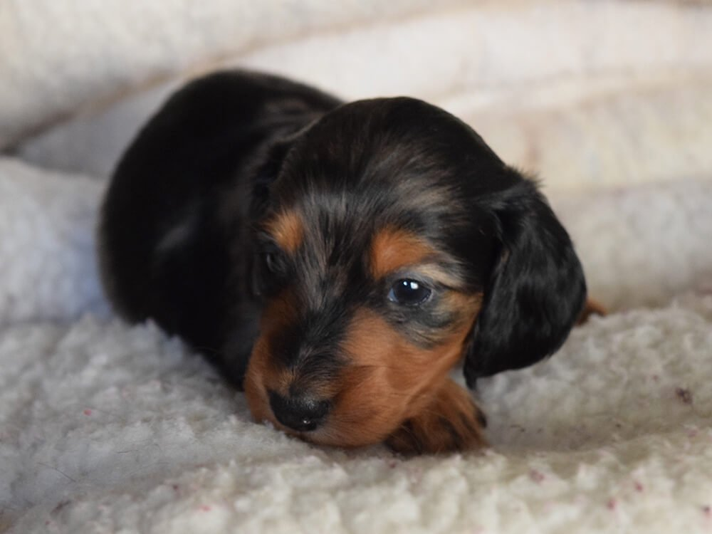 how big is a miniature dachshund puppy