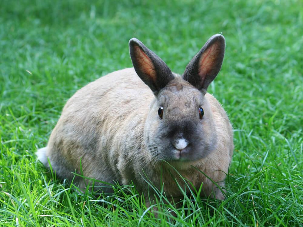 how big is a netherland dwarf bunny