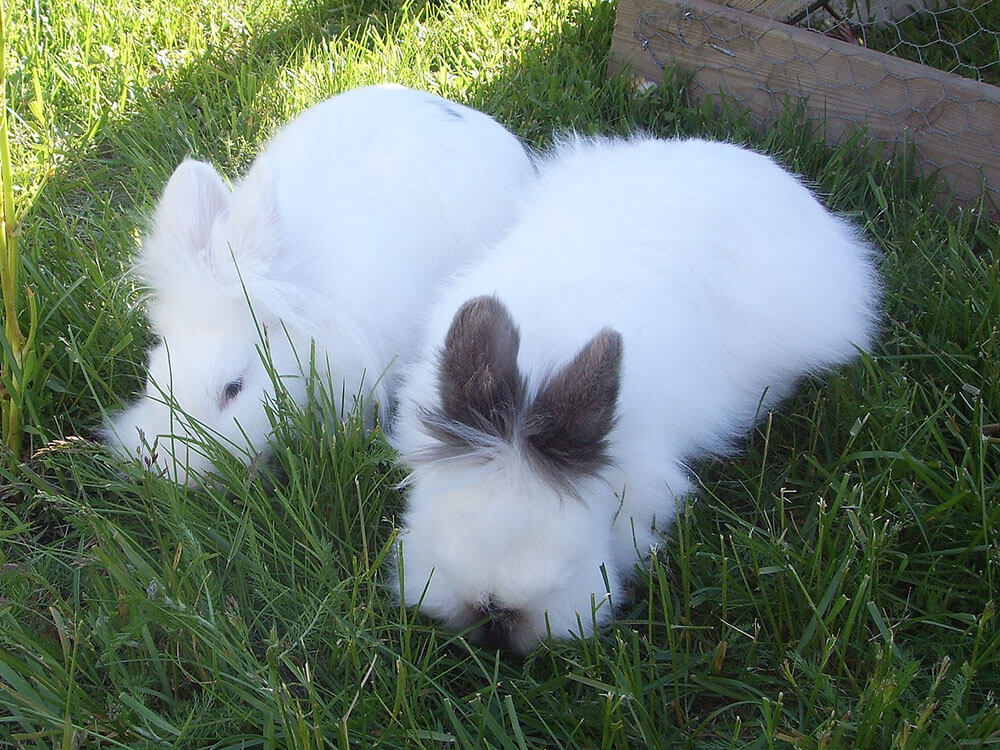 how long do lionhead rabbits live