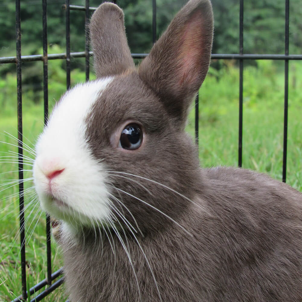 how long do netherland dwarf rabbits live