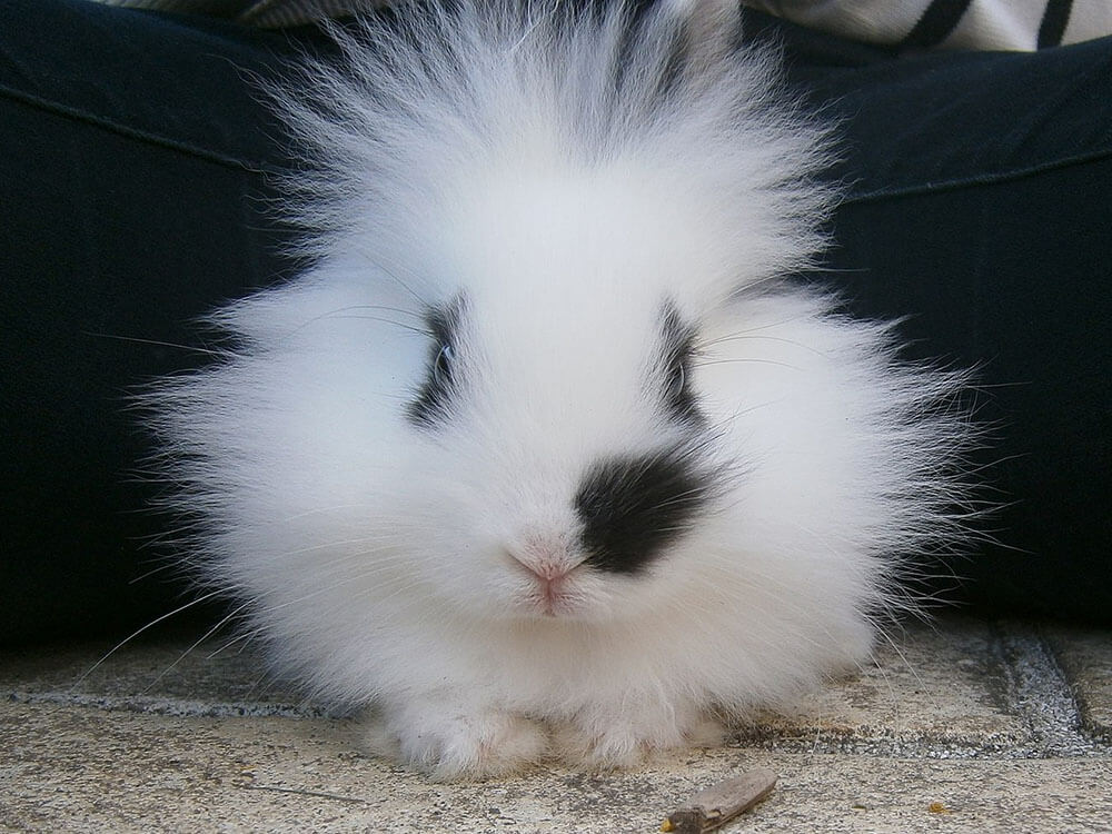 how much are lionhead rabbits