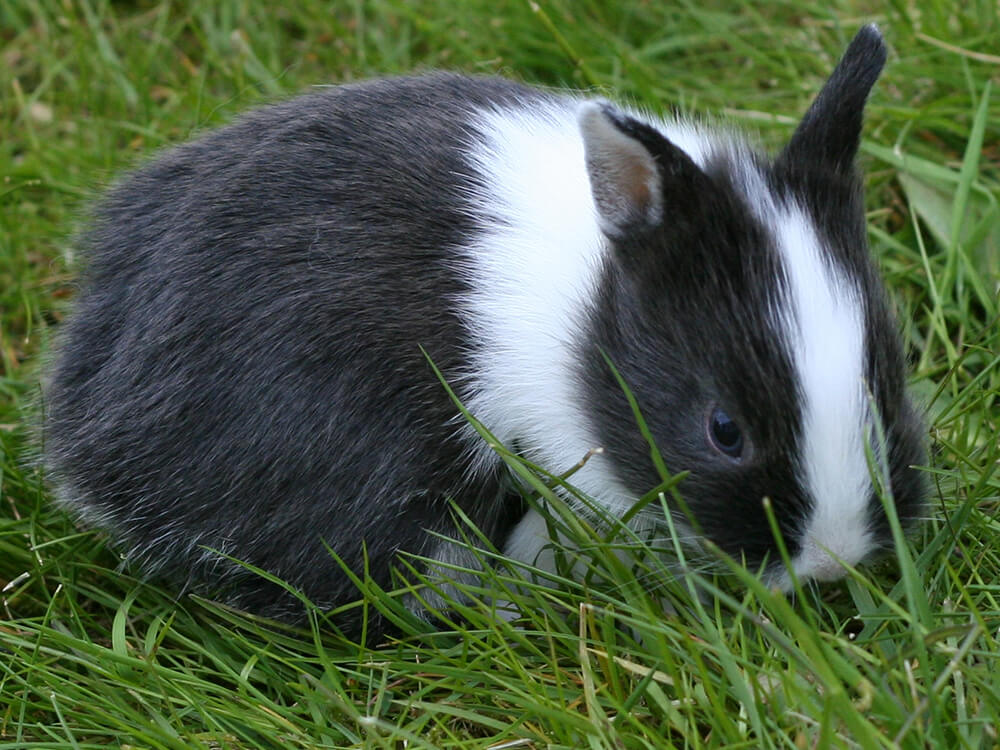 how much is a netherland dwarf rabbit