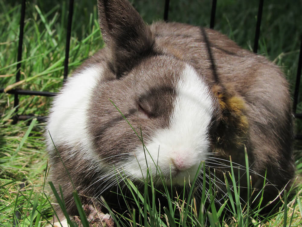 how to take care of a netherland dwarf rabbit