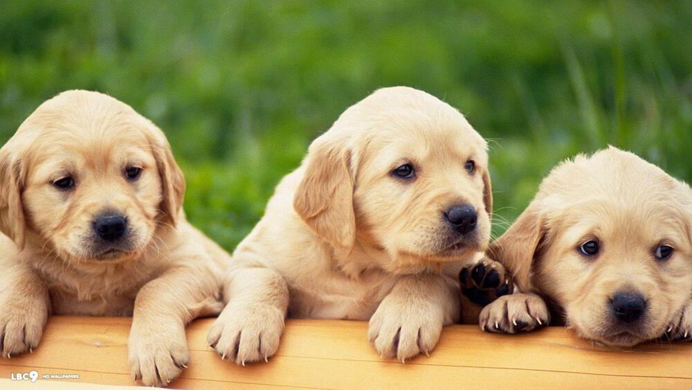 labrador puppies