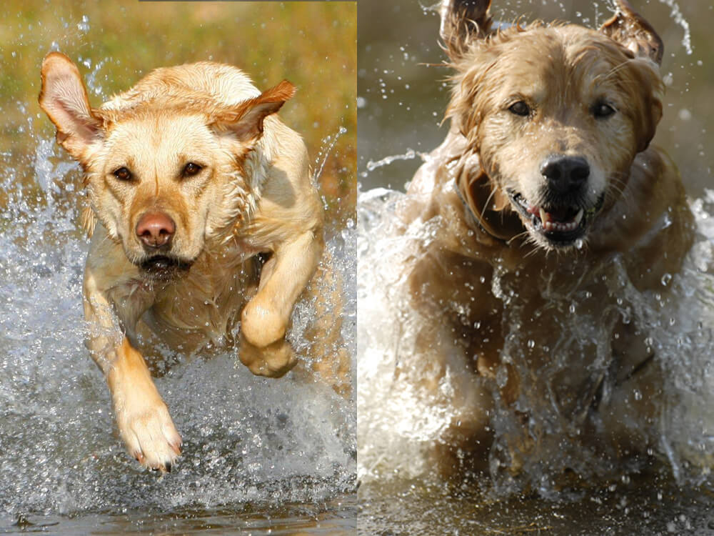 labrador vs golden retriever