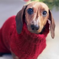 How Much Does a Miniature Dachshund Cost?