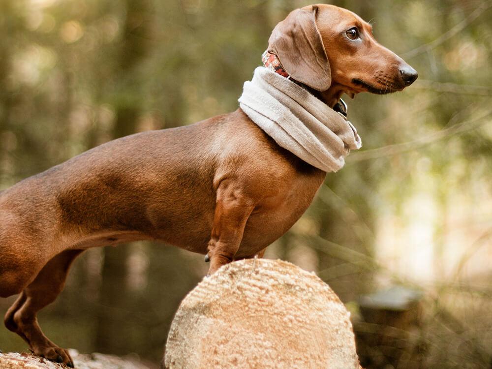 miniature-dachshunds