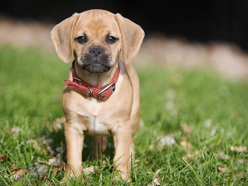 small dog breed myth 1